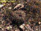 Echinocactus horizonthalonius  RUS 426, Villa Santo Domindo, SLPotosi