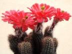 Echinocereus huitcholensis Lau 768