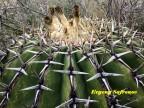 Echinocactus platiacantus RUS 584 Queretaro, San Antonio de La Cal