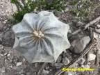 Astrophytum myriostigma v.tulense RUS 587 Tamaulipas, Mamaleon