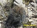 Astrophytum senile v.aureum RUS 084 Coahuilla, St. Marte> Nuevo Yucotan