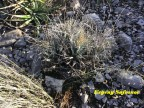 Leuchtenbergia principis RUS 402 Coahuila, western part of Sierra la Paila