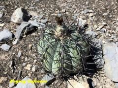 Echinocactus horizonthalonius  RUS 598 Nuevo Leon, San Antonio de Arista