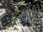 Astrophytum niveum RUS 036 Coahuilla, Cuatrocienegas