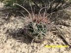 Hamatocactus hamatocantus Durango, San Isidro RUS-606