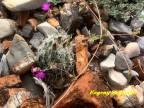 Coryphantha durangensis RUS 556 Durango, La Trinidad