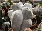 Astrophytum myriostigma 'Onzuka kikko'