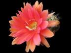Echinopsis hybrid   Madame Pele x Fruehlingssonne