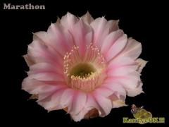 Echinopsis hybrid    'Marathon'  X  'Niederrhein'