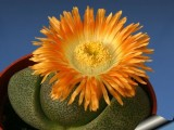 Купить семена  Pleiospilos (Aizoaceae)