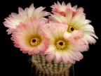 Notocactus  rutilans - růž.fial.květ