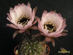 Lobivia jajoiana cv.ANEMONE