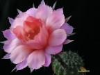 Echinopsis hybrid 'SIERRA SKYLINE'