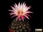 Pyrrhocactus gracilis FR495