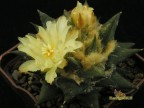 Ariocarpus trigonus v.minor