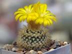Parodia sanagasta v. grandiflora