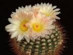 Notocactus  roseoluteus DV75