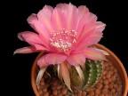Echinopsis hybrid 'Samba'