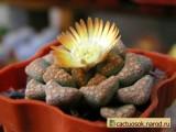 Купить семена Titanopsis (Aizoaceae)