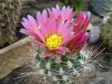 Купить семена Sclerocactus