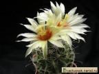 Hamatocactus setispinus - Mst. gehakt, Bl. gross, gelb mit rotem Schlund