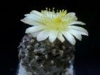 Copiapoa tenuissima - WM 176