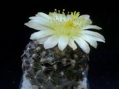 Copiapoa tenuissima - WM 176 oestl. El Cobre