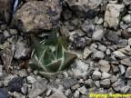 Ariocarpus trigonus RUS 379, Fortin Agrario, Gonzalez, Tamaulipas