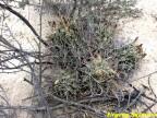 Glandulicactus uncinatus RUS 044 El Huizache, SLP