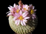 Купить кактус Yavia